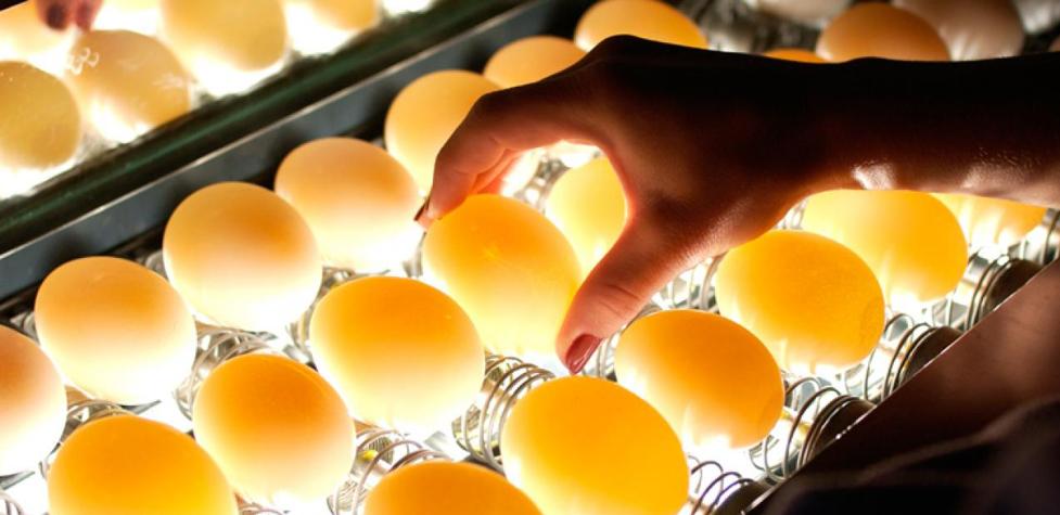 Comment placer les œufs dans la couveuse ?