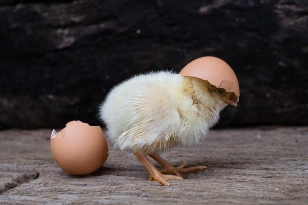 Quel est le processus de l'éclosion d'un œuf dans l'incubateur ?